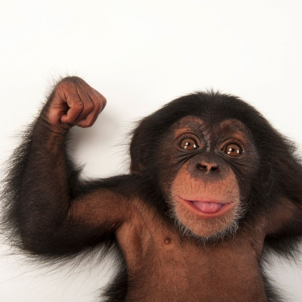 Baby Monkey; A lively three-month-old baby chimpanzee in the Lowry Park Zoo in Tampa (USA). PHOTOGRAPH: JOEL SARTORE, NATIONAL GEOGRAPHIC PHOTO ARK<br />