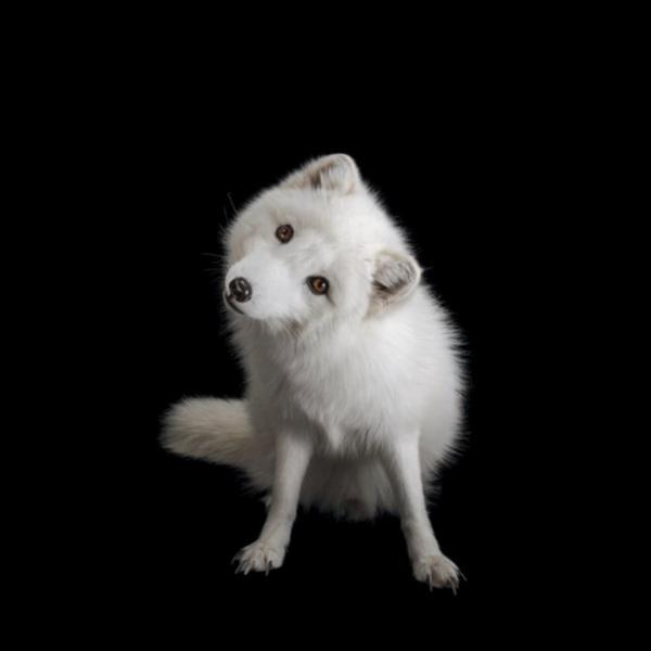Arctic Fox; A curious polar fox in the Great Bend Zoo, Kansas, USA. PHOTOGRAPH: JOEL SARTORE, NATIONAL GEOGRAPHIC PHOTO ARK<br />